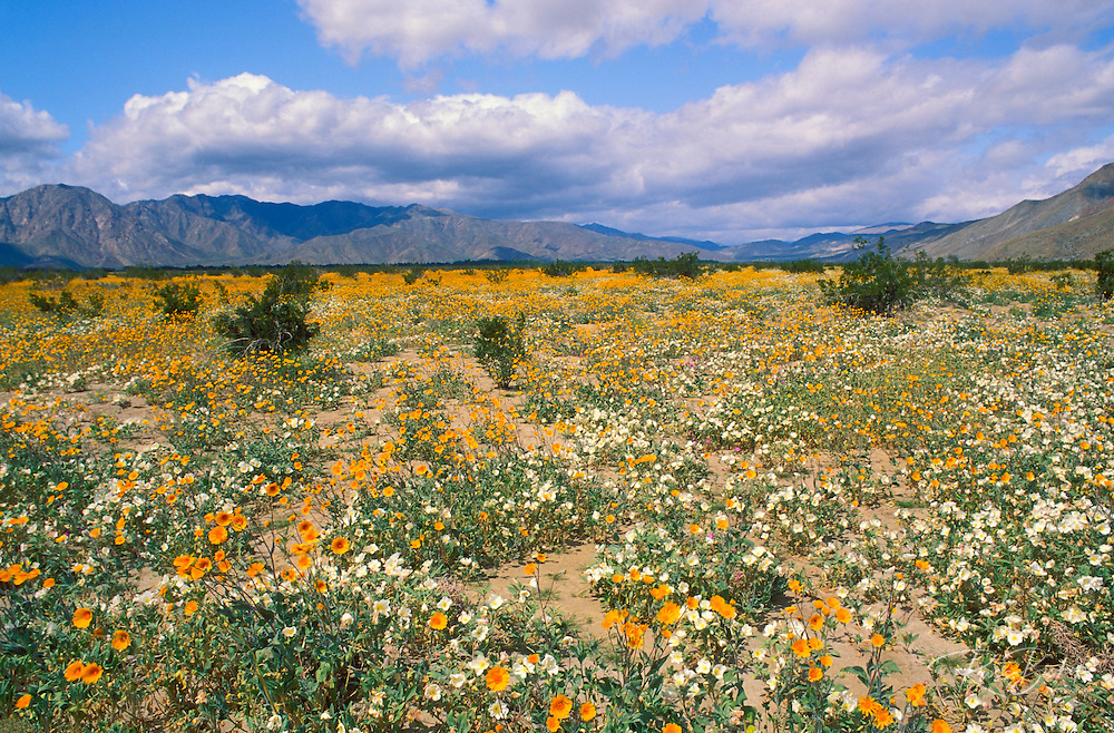 Fields of Desert Sand Verbena (Abronia villosa) and Desert Sunflower (Gerea canescens), Anza-Borrego Desert State Park, California