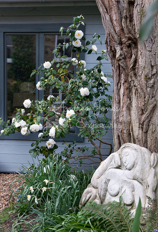 Flowering White Camellia sp at Liz Warner's garden
