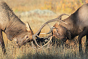 Bull elk with broken antler battles another bull and endangers his already injured left eye.