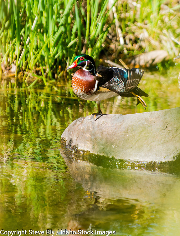 Colorful Male Wood Duck perched on a rock in an Idaho river.