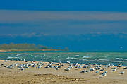 Gulls on sandy shoreline of Lake Ontario<br />