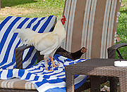 A hen has laid an egg on a beach chair while the occupants are away.  The rooster guards the hen and the egg.