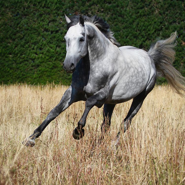 Grey warmblood stallion (X Prestige VDL X Maestro SWB)