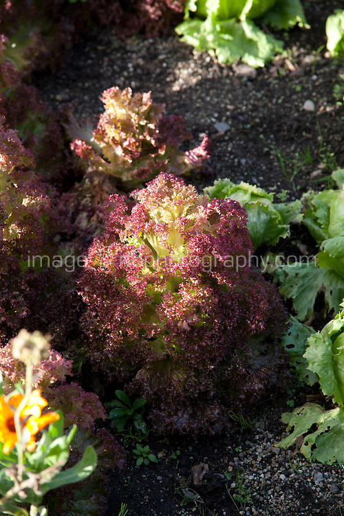 Lollo Rosso lettuce growing in an Irish garden