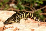 Barred Tiger Salamander (Ambystoma mavortium)