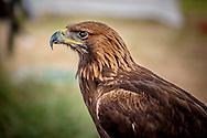 Profile of Golden Eagle at flying display