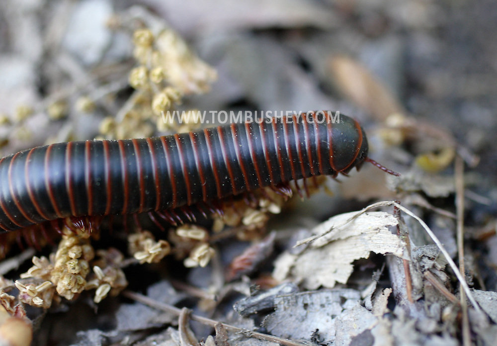 Salisbury Mills, NY - A millipede crawls along the forest floor on Schunnemunk Mountain on May 10, 2009.