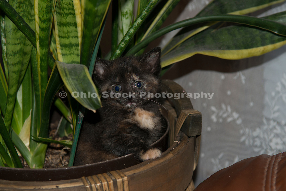 Domestic Shorthair tortoiseshell kitten. Columbus, Ohio, USA. June 2014