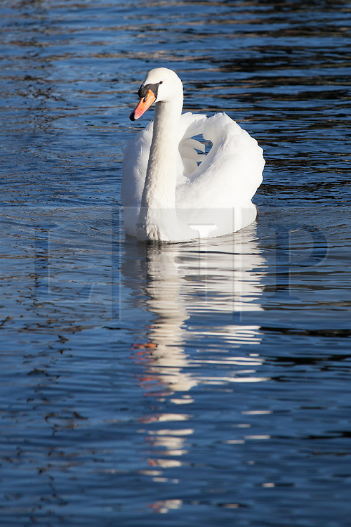 © Licensed to London News Pictures. 24/12/2014. Southsea, Hampshire, UK. A swan on Southsea Canoe Lake enjoying the sunny weather today, Christmas Eve, in Southsea, Hampshire. Photo credit : Rob Arnold/LNP