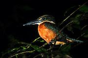 Green-and-rufous Kingfisher (Chloroceryle inda)<br /> Mapari<br /> Rupununi<br /> GUYANA<br /> South America