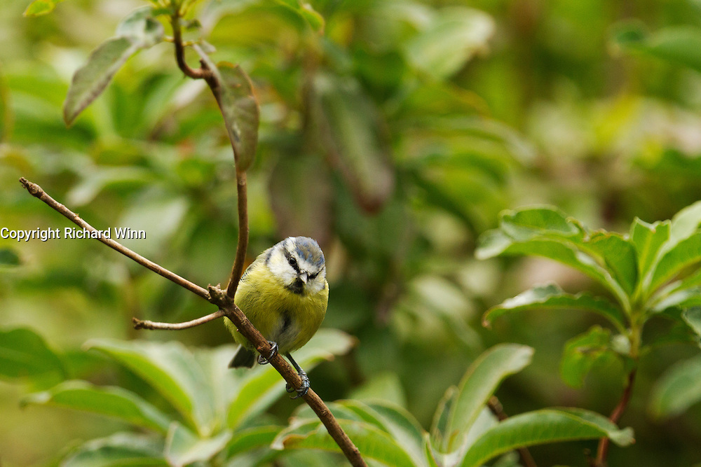 Blue tit perched on the branch of a small tree or bush, while waiting to take food from a feeder.