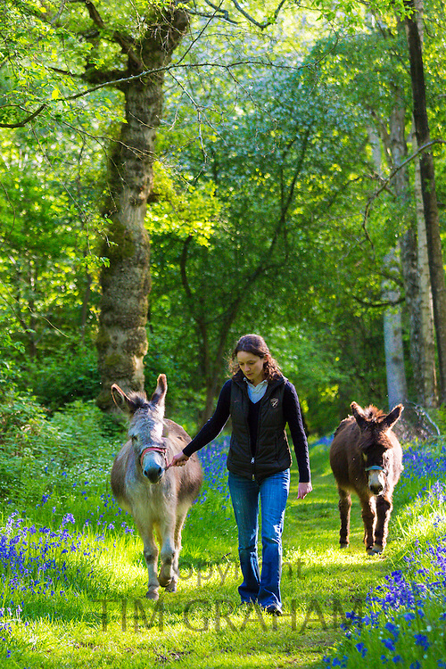 Woman leading donkey, Equus africanus asinus, heading home through a bluebell wood in The Cotswolds, UK