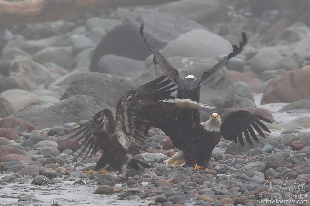 Three bald eagles (Haliaeetus leucocephalus), two adults and a juvenile, fight over fish on the banks of the Cheakamus River near Brackendale, British Columbia, Canada. The juvenile, at left, scavenged the spawned out fish first, but the two adults moved in quickly for their chance to feed.