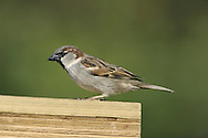 House Sparrow Passer domesticus L 14-15cm. Familiar because of affinity for human habitation. Often dust-bathes and sits on roofs, utterly familiar sparrow chirps. Sexes are dissimilar. Adult male has grey crown, cheeks and rump. Nape, sides of crown, back and wings are chestnut-brown, underparts are pale grey, and throat and breast are black. Bill is dark and legs are reddish. Adult female is mainly brown above with buff streaks on back; underparts are pale grey and note pale buff supercilium behind eye. Juvenile is similar to adult female but duller. Voice Utters range of chirping calls. Status Fairly common but declining resident, usually found in vicinity of houses and farms.