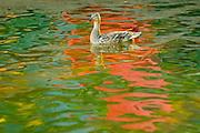 Female mallard duck in Lake Rosseau<br /> Minett<br /> <br /> Canada