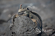 A lava lizard rests on top of a Marine Iguana on Fernandina island, Galapagos islands, Ecuador.