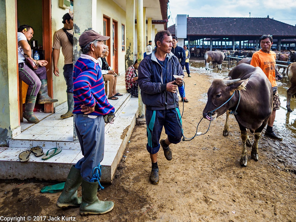 06 AUGUST 2017 - MENGWI, BALI, INDONESIA:  A man and his Balinese cow walk away from the livestock office in the Bringkit Market in Mengwi, about 30 minutes from Denpasar. Bringkit Market is famous on Bali for its Sunday livestock and poultry market. Hundreds of the small Bali cows are bought and sold there every week. Bali's local markets are open on an every three day rotating schedule because venders travel from town to town. Before modern refrigeration and convenience stores became common place on Bali, markets were thriving community gatherings. Fewer people shop at markets now as more and more consumers go to convenience stores and more families have refrigerators.    PHOTO BY JACK KURTZ