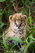Serval <br /> Felis serval<br /> Two week old orphan kitten, ears just starting to open<br /> Tanzania
