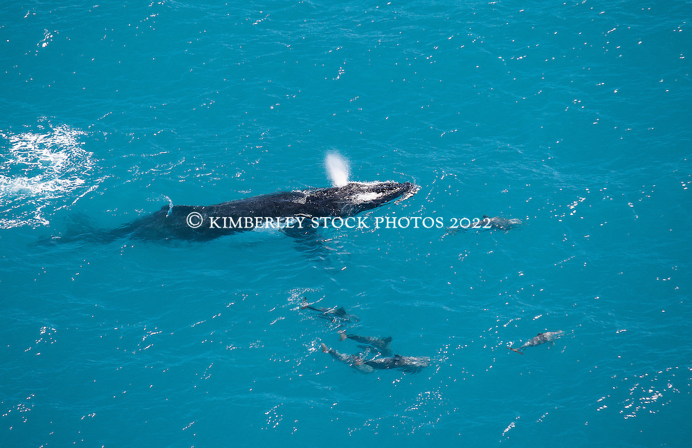 A humpback whale and pod of dolphins swimming off Willie Creek.