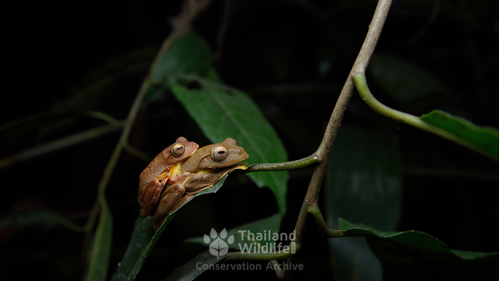 Red webbed tree frog (Rhacophorus rhodopus) in Kaeng Krachan National Park, Thailand.