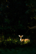 Fallow Deer (Dama dama) Adult femalestanding in shaft of light in woodland,North Norfolk, UK. September.