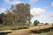 Siver birch trees, Butley, Suffolk, England