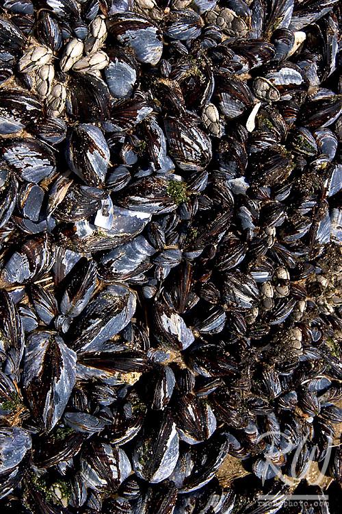 Mussels Hanging on Rock, El Matador State Beach, Malibu, California