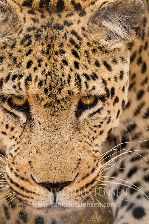 An african leopard stalks through low bushes, Naan Ku Se Wildlife Sanctuary, Namibia.