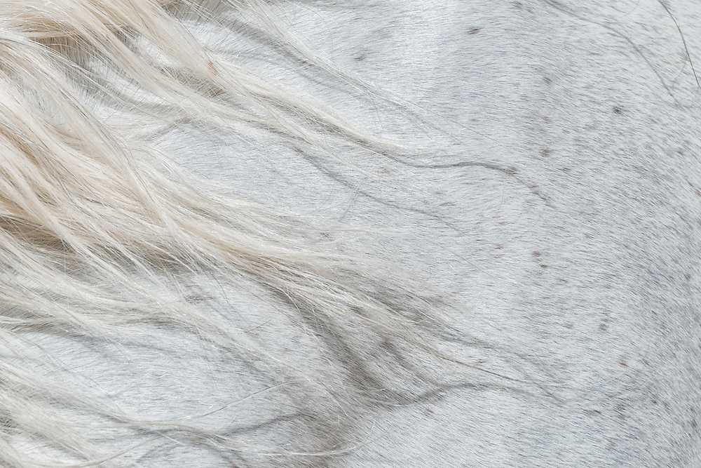 Forelock of a white horse.