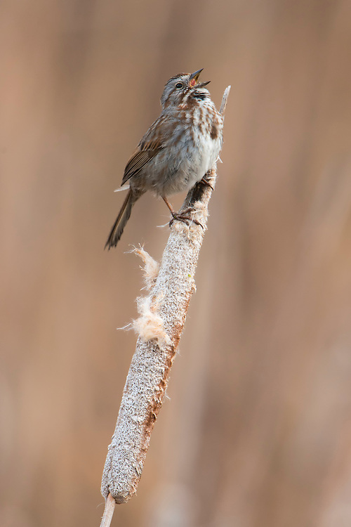 A Song Sparrow (Melospiza melodia) sings from a cattail, Lee Metcalf National Wildlife Refuge, Montana