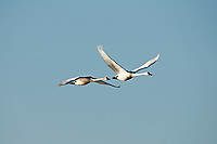 A pair of Tundra Swans flies over a Utah marsh pond in early spring.