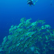 A vertical shot of a photographer documenting dog snappers (Lutjanus joco) in a fish spawning aggregation in Gladden Spit and Silk Cayes Marine Reserve off the coast of Placencia, Stann Creek, Belize