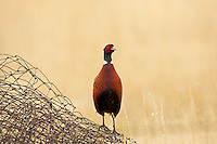 Ring Necked Pheasant survives in the farmlands of the United States.