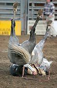 061408-Evergreen, CO-barebackriding-Bareback rider Tead Seat is crushed by a horse during the bareback riding competition Saturday, June 14, 2008 at the Evergreen Rodeo Grounds. Seat suffered a broken collar bone and was transported to a hospital after the fall..Photo By Matthew Jonas/Evergreen Newspapers/Photo Editor