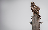 A Young Red-Tailed Hawk. Fine Art Photography. New Mexico. USA.<br />