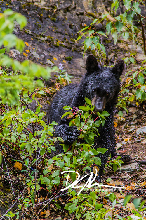 Black Bear eating berries