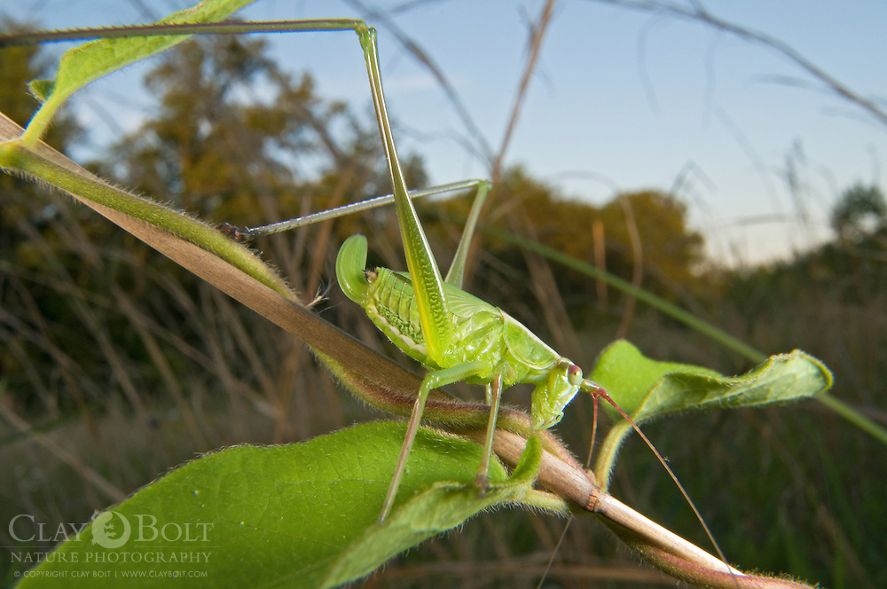 Round Headed Katydid sp. (Amblycorypha sp.), Pickens, South Carolina, USA