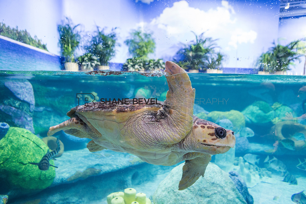 3/2/17 11:00:20 AM -- The ribbon cutting and grand opening of the new sea turtle exhibit at the Oklahoma Aquarium in Jenk, Okla. <br /> <br /> Photo by Shane Bevel