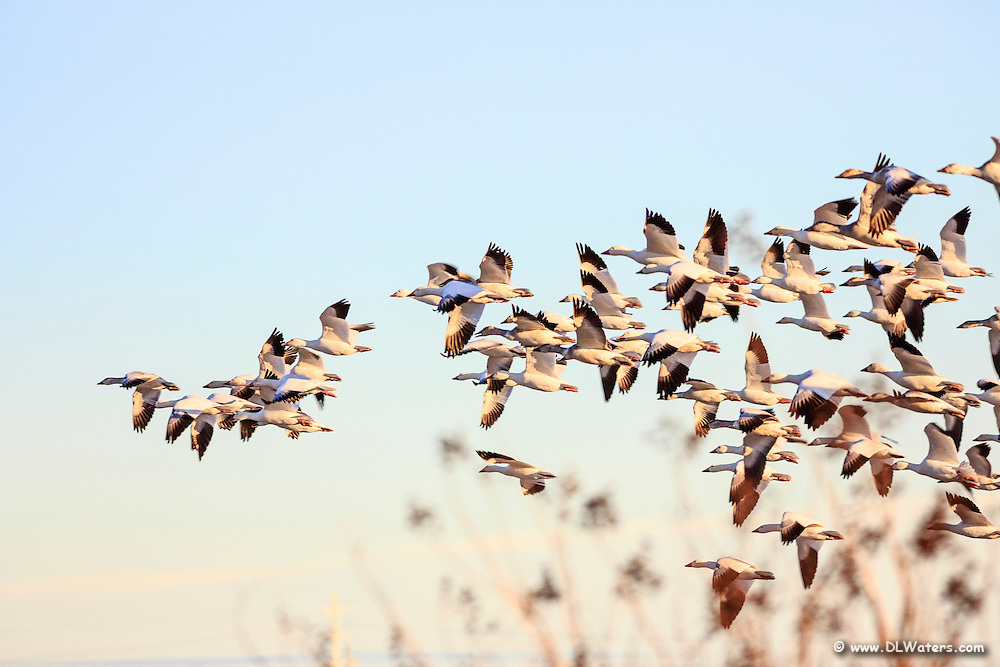 Flock of Snowgeese taking off from a field in lower Currituck County.