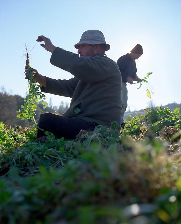 Harvesting cilantro.