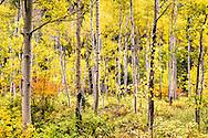 A golden aspen forest in Telluride Colorado.
