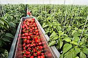 Nederland, Bemmel, 12-8-2011Begerden. Hier staan een tiental grote, nieuwe, hypermoderne tuinbouw bedrijven.Verregaand geautomatiseerd, deels biologisch en energie zuinig. Kastuinbouw, economie, innovatie, vernieuwing,computergestuurd.Poolse werknemers, arbeidskrachten, personeel, uitzendkrachten werken hier. In deze kas wordt paprika gekweekt. Arbeidsmigratie uit Polen, werkgelegenheid, arbeidsethos. personeelstekort, werkloosheid, CWIVaak worden zij geworven door een uitzendbureau, uitzendburo. Foto: Flip Franssen/HH