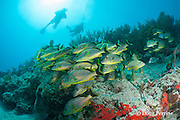 divers swim over bluestriped grunts, Haemulon sciurus, schooling on shallow reef, Playa del Carmen, near Cancun, Quintana Roo, Yucatan Peninsula, Mexico ( Caribbean Sea )