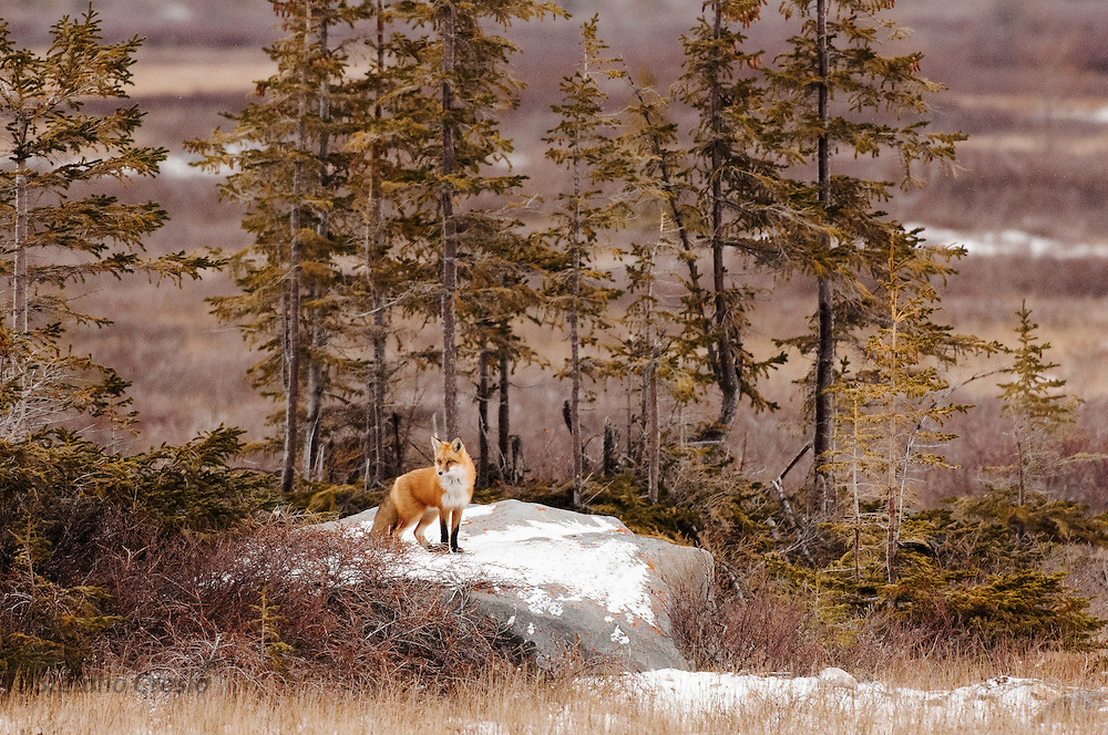 CANADA, Churchill (Hudson Bay).Red fox (Vulpes vulpes) and tundra vegetation