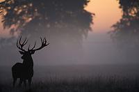Red Deer (Cervus elaphus) stag in morning mist (c), Klampenborg Dyrehave, Denmark. Fenced reserve enclosure.