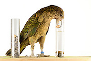 [captive] In this experiment the Kea (Nestor notabilis) is presented three tubes filled with water, large or small stones. The Kea learns to drop stones into the tube filled with water until the water level has risen high enough for the Kea to pick up a nut. The picture was taken in cooperation with the University of Vienna (UniVie) and University of Veterinary Medicine Vienna (VetMed). Sequence 15/16. | In diesem Experiment werden dem Kea (Nestor notabilis) drei Röhrchen präsentiert, die entweder mit Wasser, kleinen oder großen Steinchen gefüllt sind. Der Kea wirft gezielt Steine in die Säule mit Wasser, bis die darin befindliche Nuss hoch genug schwimmt, um vom Kea erreicht zu werden. Das Bild wurde in Zusammenarbeit mit der Veterinärmedizinischen Universität Wien und der Universität Wien erstellt. Sequenz 15/16.