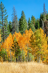 """Autumn Aspens 5"" - Photograph of an aspen grove among the pine trees, near the top of Highway 267 in between Truckee and Kings Beach, California."