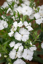 Dianthus barbatus 'Festival White' (Festival Series).<br /> Sweet william.