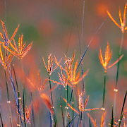 Windmill grass is backlit at sunset in spring on a South Texas Ranch.