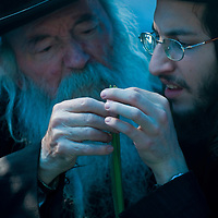 "JERUSALEM - OCT 10 : An ultra-orthodox Jewish men inspects a Lulav in the ""Four spesies"" market in Jerusalem Israel on October 10 2011 , Lulav is one of the ""Four spesies""  used during the celebration of Sukot"